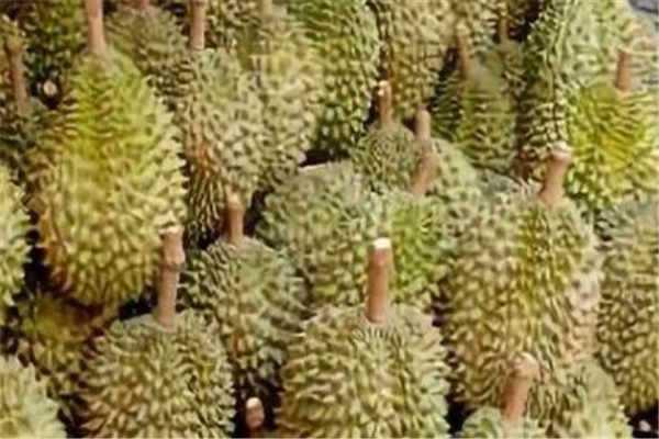 四季菠萝蜜种植技术