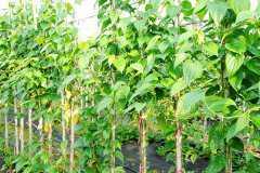 植物叶出现焦叶的原因和处理方法是什么