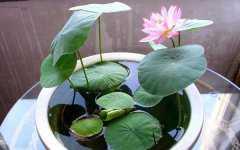 碗莲的种植方法有哪些是什么,其实很简单