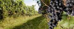 葡萄每个月份应该打什么药
