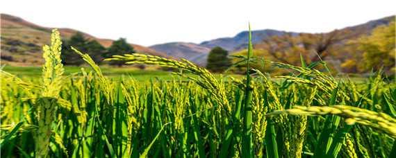 暴雨过后水稻好养吗,怎么养殖,水稻种植方法有哪些