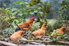 2021年养鸡有补贴吗?附2021年养鸡补贴标准!
