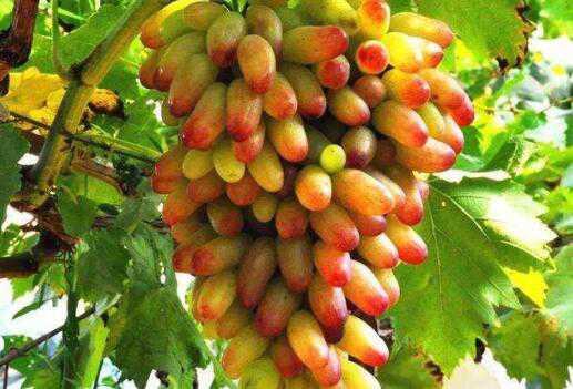 金手指葡萄的功效与作用 金手指葡萄的营养价值