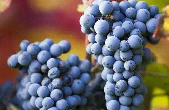 吃葡萄的好处和坏处 吃葡萄有什么好处