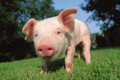 2021年三亚养猪补贴对象、标准及申请流程介绍!