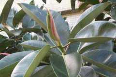 橡皮树的养殖方法和注意事项