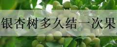 银杏树多久结一次果
