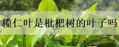 榄仁叶是枇杷树的叶子吗