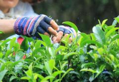 茶叶采摘技术