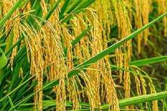 水稻抽穗到齐穗要多少天,如何养护产量高