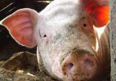 猪坚强还活着吗?猪坚强512是什么意思?它的故事是怎样的?