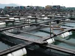 草鱼网箱养殖技术
