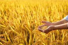 杂交水稻之父的故事主要有哪些?袁隆平曾有三个水稻梦想!