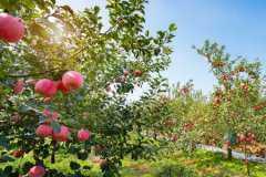 今年苹果为什么滞销?2021年苹果价格走势如何?附各地最新价格!
