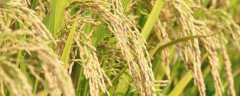 水稻叶尖发黄干枯是什么原因