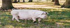 猪有几条边肋