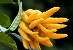 佛手瓜种植时间在几月份,佛手瓜好养吗,怎么养殖