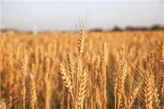 2021年新麦收购价格具体是多少?附国家小麦最低收购价新政策