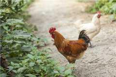 农村养鸡需要办理什么手续?农村养鸡要有什么条件?