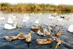 肉鸭养殖前景如何?附养殖成本与利润分析!