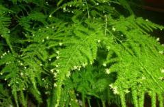 文竹种植方法,文竹生长需要什么条件
