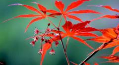 红枫树苗的种植技巧,红枫树如何养护