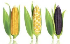 玉米生长中后期如何管理,玉米养殖需要注意什么