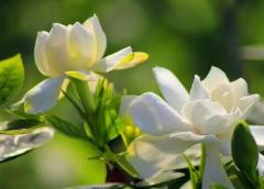 栀子花的种植方法,栀子花好养吗,怎么养殖比较好