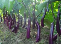 夏季茄子常见虫害的防治方法,茄子应该好养吗,怎么养殖