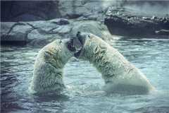 北极熊吃上特制60斤冰粽!具体什么情况?看详情!