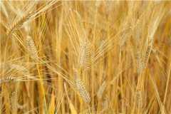 2021小麦最新行情价格走势:预计是涨还是落?附今日最新价格!