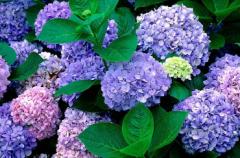 八仙花的扦插繁殖方法,八仙花怎么繁殖