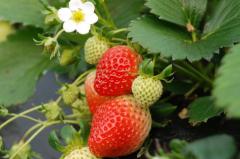 草莓出现裂口是怎么回事,要如何预防草莓裂口