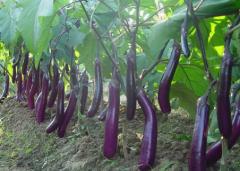 茄子套袋有哪些优点,茄子种植方法技巧总结