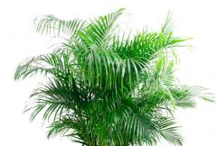 富贵椰子黄叶掉落怎么办,叶子发黄补救解决方法
