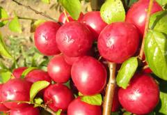 欧李的种植技术,欧李应该好养吗,怎么养殖