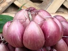 紫皮大蒜丰产栽培管理技术,紫皮蒜怎么播种
