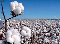 新疆棉花机械化种植技术要点,棉花好养吗,怎么养殖