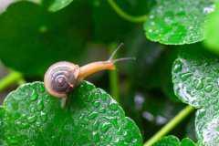 雨后出现的大蜗牛有毒吗?为什么下过雨之后蜗牛会出来?