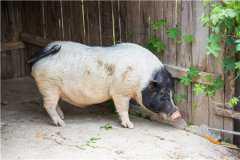 2021野猪可以人工养殖吗?附野猪人工养殖技术!