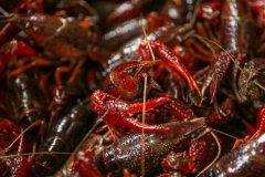 日本拟将小龙虾指定为外来入侵物种!具体是怎么回事?看详细原因!