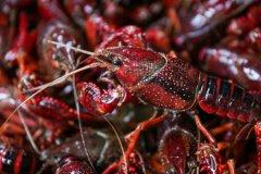 小龙虾是哪国的入侵物种?小龙虾作为入侵物种的危害有哪些?