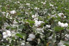 棉花种植技术,棉花如何高产管理