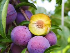 脆红李种植技术,如何预防病虫害