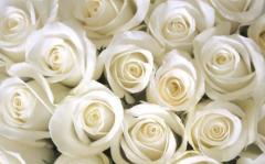 白玫瑰不能随便送人,白玫瑰代表了什么