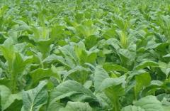 夏季烤烟的种植管理要点,烤烟好养吗,怎么养殖好