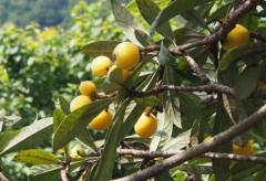 提高枇杷树移栽存活率的方法,枇杷怎么种植好