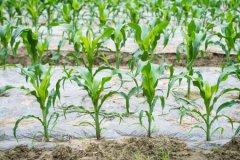 玉米矮壮素什么时候打最好?能和叶面肥一起打吗?附打矮壮素的最佳