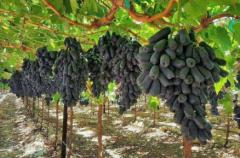 如何提高蓝宝石葡萄的产量呢,蓝宝石葡萄好养吗,怎么养殖好