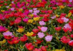 太阳花和向日葵是一种花吗,太阳花图片整理